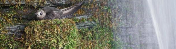 一号站官方:在哪里可以找到北美最稀有的雨燕