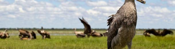 一号站平台登录: 渔民们乘着独木舟保护着非洲著名的琵鹭,以防偷猎者