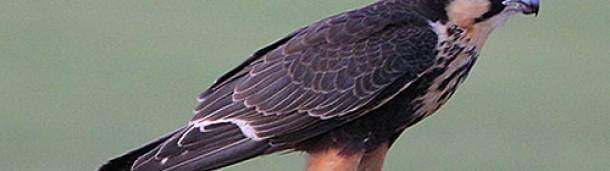 一号站注册登录: 沉重猎鹰