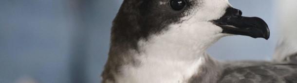 一号站官方:两种濒临灭绝的海鸟在瓦胡岛被重新发现
