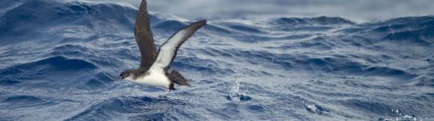 1号站注册: 迷失在海上,努力飞行的鸟类可能是巨大的罕见和神秘
