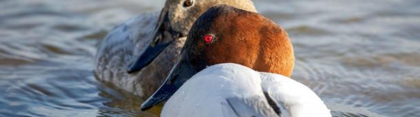 一号站平台登录: 如何分辨灰背鸭和红发鸭