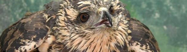 一号站平台登录:在一次受伤之后,缅因州著名的大黑鹰面临着不确定的未来