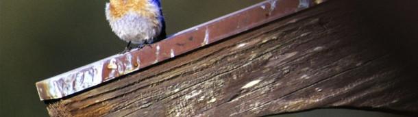一号站官方: 从蓝知更鸟崇拜者到庭院观鸟者