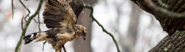 一号站官方:缅因州的一只墨西哥鹰在两次暴风雪中幸存下来