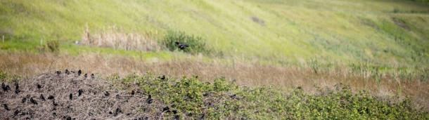 一号站平台登录:最好了解一种鸟类:三色黑鹂庞大而多变的繁殖地