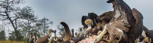 一号站注册登录: 尼泊尔濒临灭绝的秃鹫终于卷土重来了