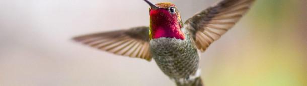 一号站平台登录:蜂鸟摇动尾羽,发出高音声音