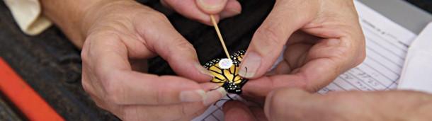 一号站官方:为什么观鸟者要把贴纸贴在黑脉金斑蝶上