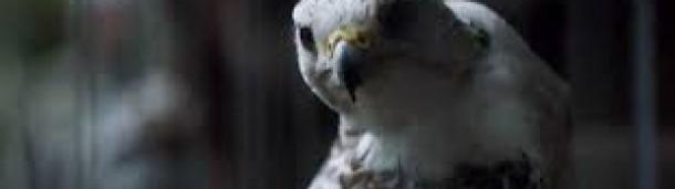 一号站平台登录:《权力的游戏》里怎么满是鸟(不仅仅是乌鸦)