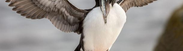 一号站注册登录: 一项新的法案将如何帮助恢复我们的海洋和提高海鸟的数量