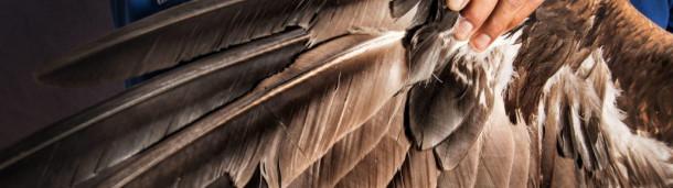 一号站平台登录: 印第安人的需求推动了鹰羽毛的黑市