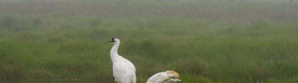 一号站平台登录:看着濒临灭绝的鸣鹤穿过灭绝的迷雾