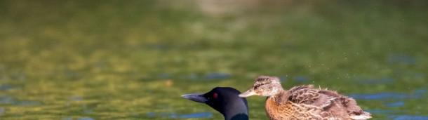 一号站注册登录:一只野鸭在潜鸟父母的照顾下茁壮成长——也许是潜到水下