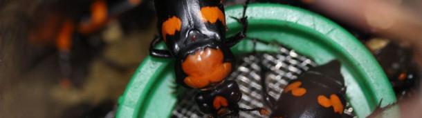 一号站注册登录:一种奇特而濒临灭绝的甲虫,萦绕在它们的魂灵里