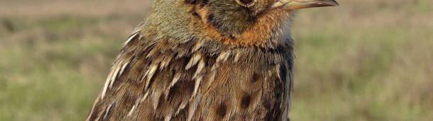 一号站官方:迅速衰落的Songbird短期内不会受到联邦保护