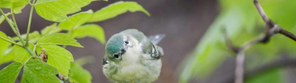 一号站平台登录:雌性天蓝色莺叽叽喳喳地唱着老套的鸟鸣