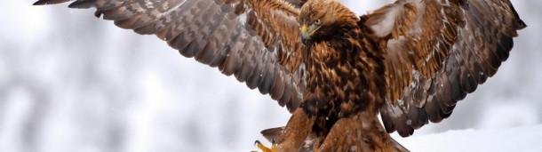 1号站注册:尼安德特人会为了金雕的羽毛和爪子而捕杀它们吗?