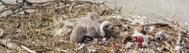 一号站官方:过度拥挤可能会驱使秃鹰在海滩上筑巢