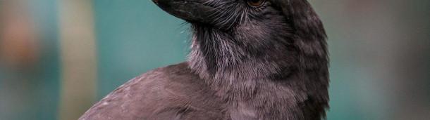 一号站平台登录:重新引进的夏威夷乌鸦正在学习如何在野外生活