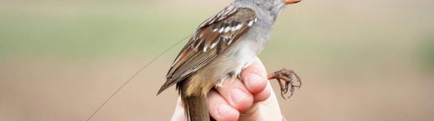 一号站注册登录:一种广泛使用的杀虫剂会导致鸣禽体重减轻和迁徙延迟