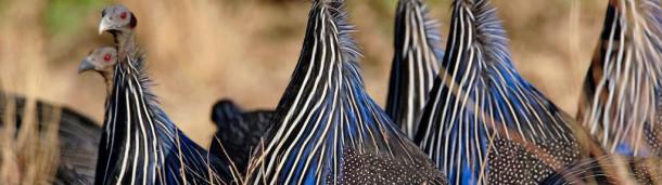 一号站平台登录:尽管它们的大脑很小,这些非洲鸟类却能形成复杂的关系