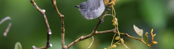 1号站注册:婆罗洲难以捉摸的眼镜啄木鸟不再是一个谜