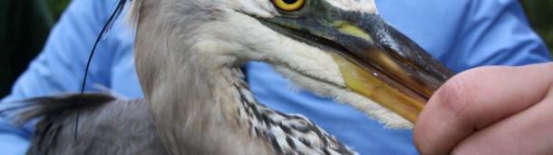 一号站平台登录:大蓝鹭哈珀刚刚结束了它的秋季迁徙