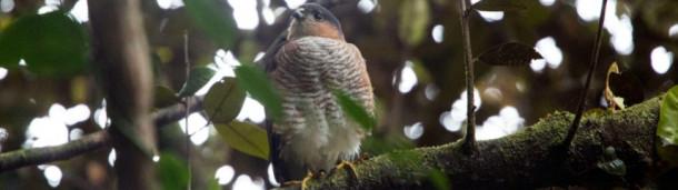一号站平台登录: 飓风玛利亚几乎摧毁了这些鹰。我们能在下一次大风暴来临之前救他们吗?