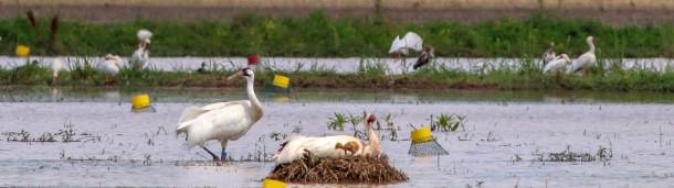 一号站官方:杀死长尾鹤的凶手很容易就逃脱了,这让自然资源保护主义者很沮丧