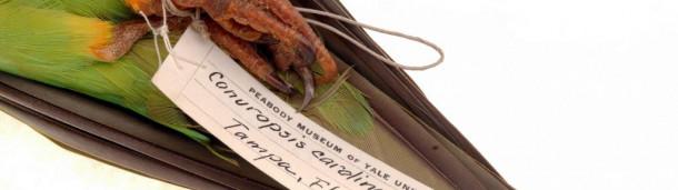 一号站注册登录: 新的DNA研究表明,人类导致美国唯一的本土鹦鹉灭绝