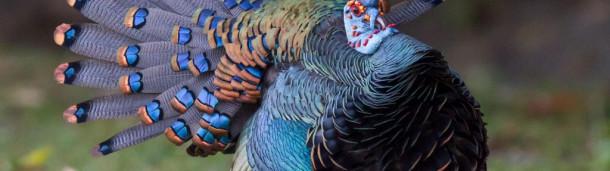 一号站平台登录:让我大吃一惊的蓝色野火鸡