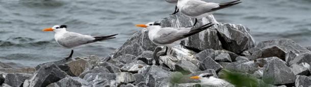 一号站平台登录:在维吉尼亚州,2万只返回的海鸟正在争先恐后地筑巢